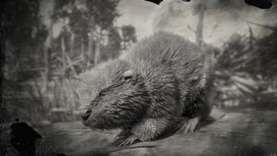 Castor Red Dead Redemption 2 : guide, position, beaver